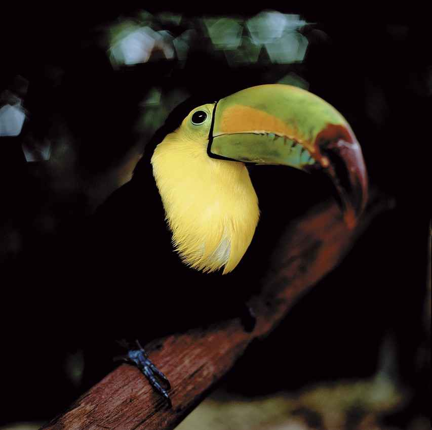A colorful and beautiful toucan tropical bird in an animal sanctuary near Playa Del Carmen.