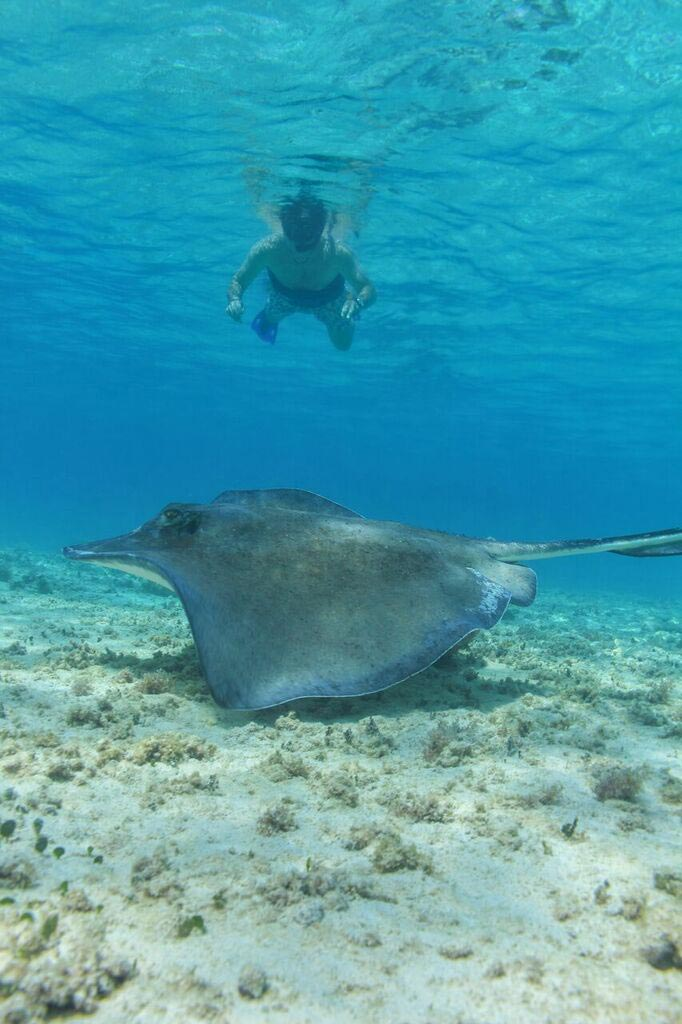 a-manta-ray-as-a-scene-from-a-snorkeler-on-a-playa-del-carmen-booze-cruise
