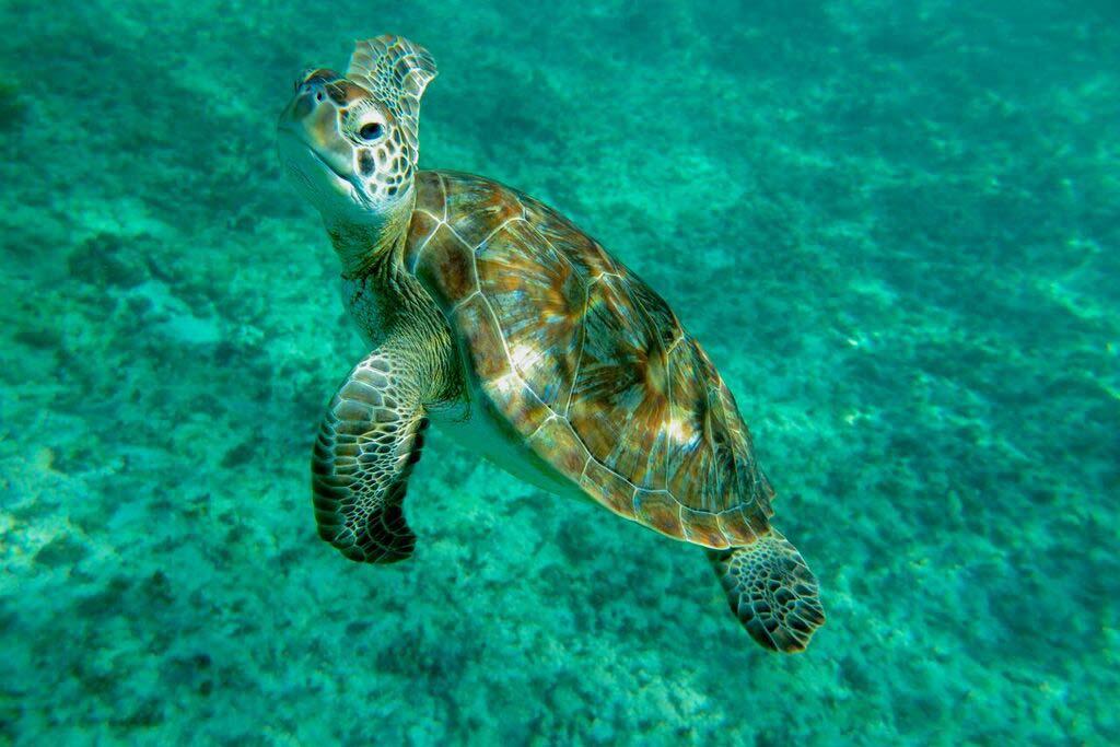 playa-del-carmen-booze-cruise-snorkeling-sea-turtle-swimming-in-caribbean-sea