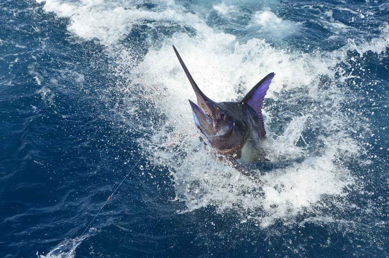 A large swordfish caught and fighting at sea.