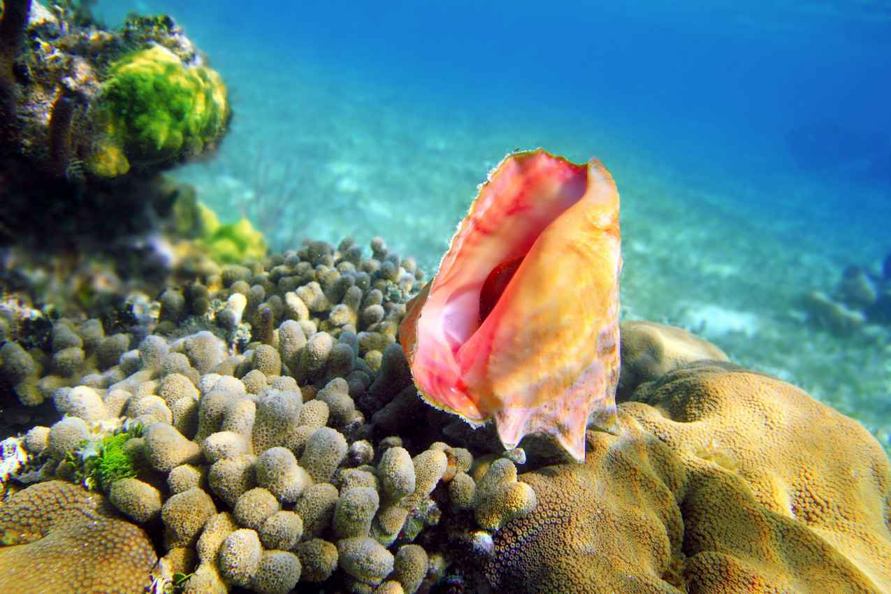 A colorful shell as seen while snorkeling near Cozumel Island.