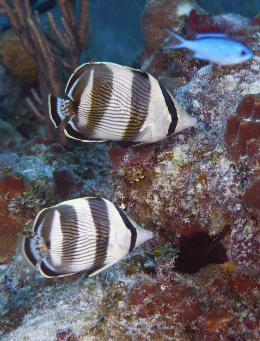 Several black-and-white fish swimming near the reef.