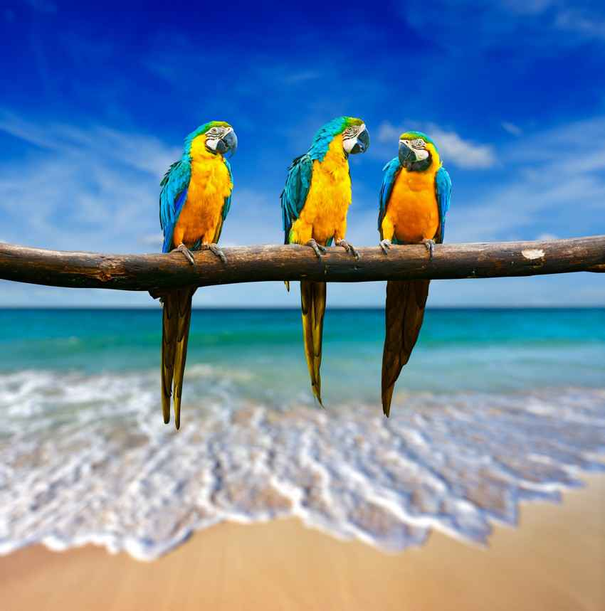 Three parrots on a branch in front of a beach in Quintana Roo Mexico.