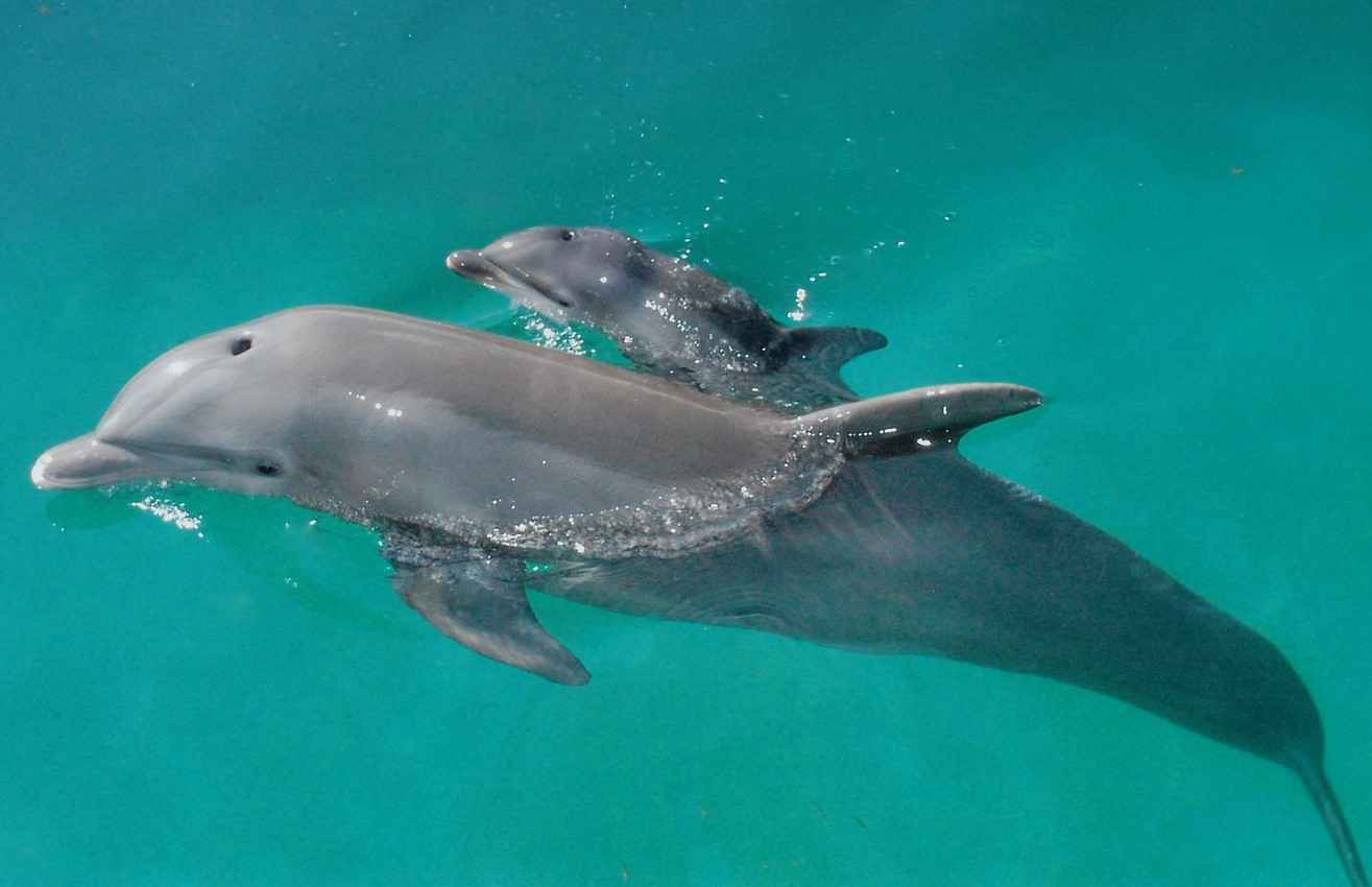 A baby dolphin swimming with its mother or father.