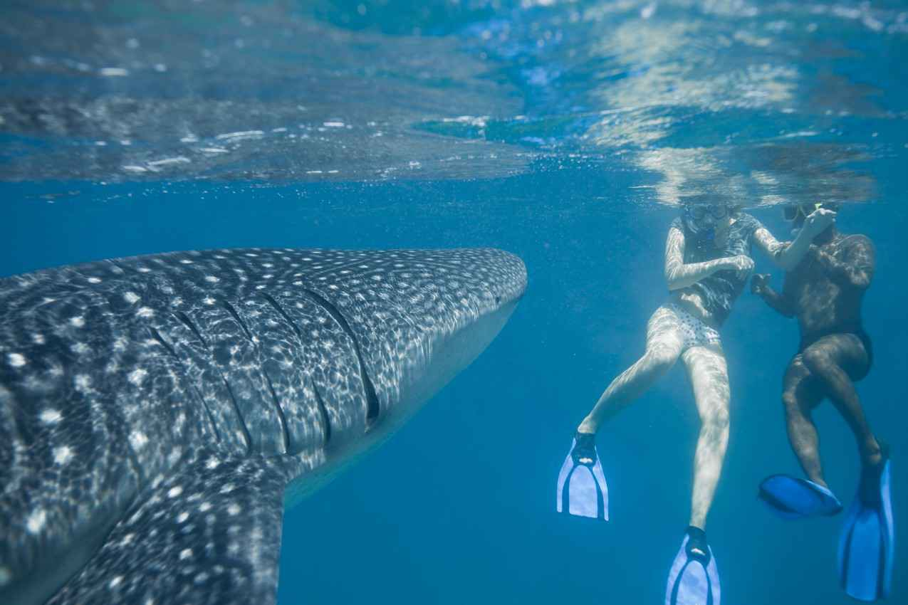 The Mexican snorkeling instructor teaching a woman how to correctly swim with whale sharks.
