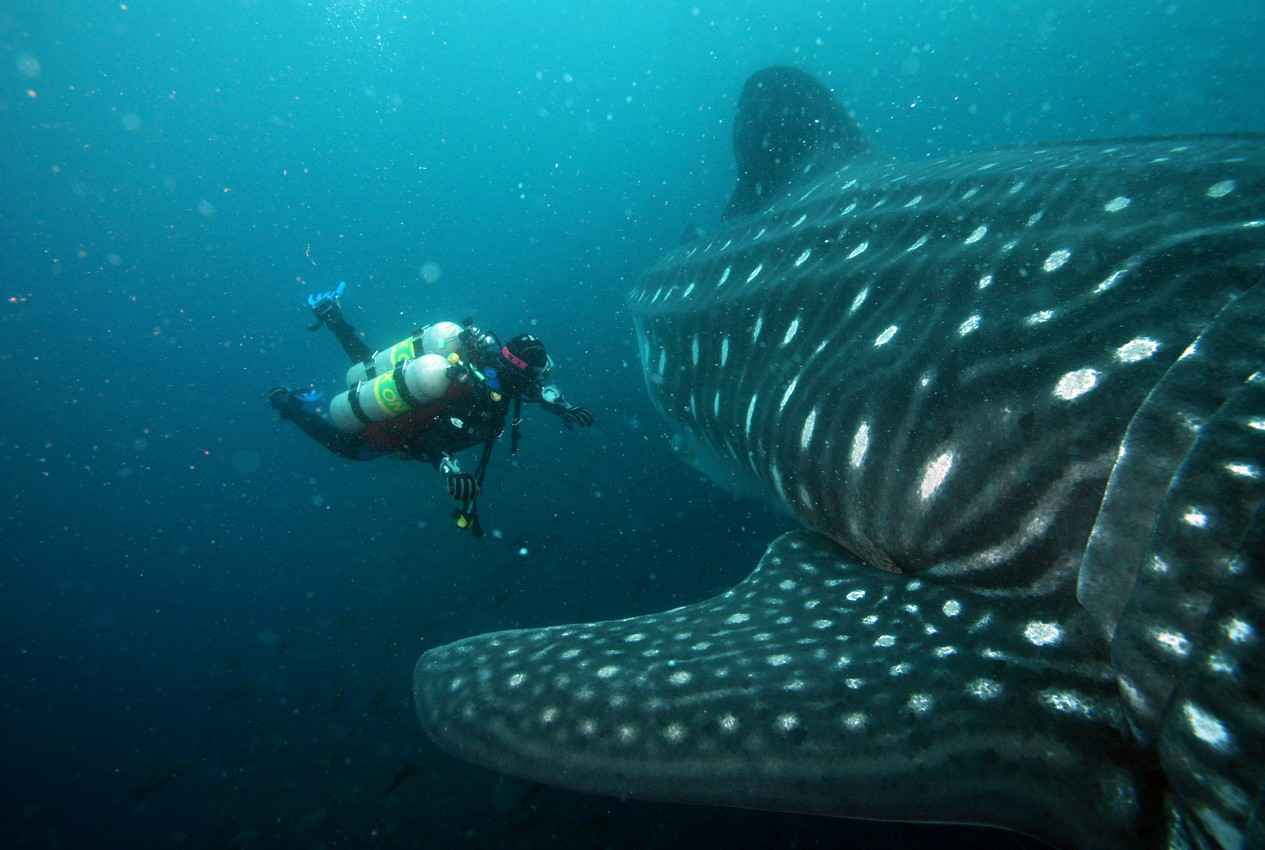 A scuba diver with several tanks swimming near a whale shark in the ocean.