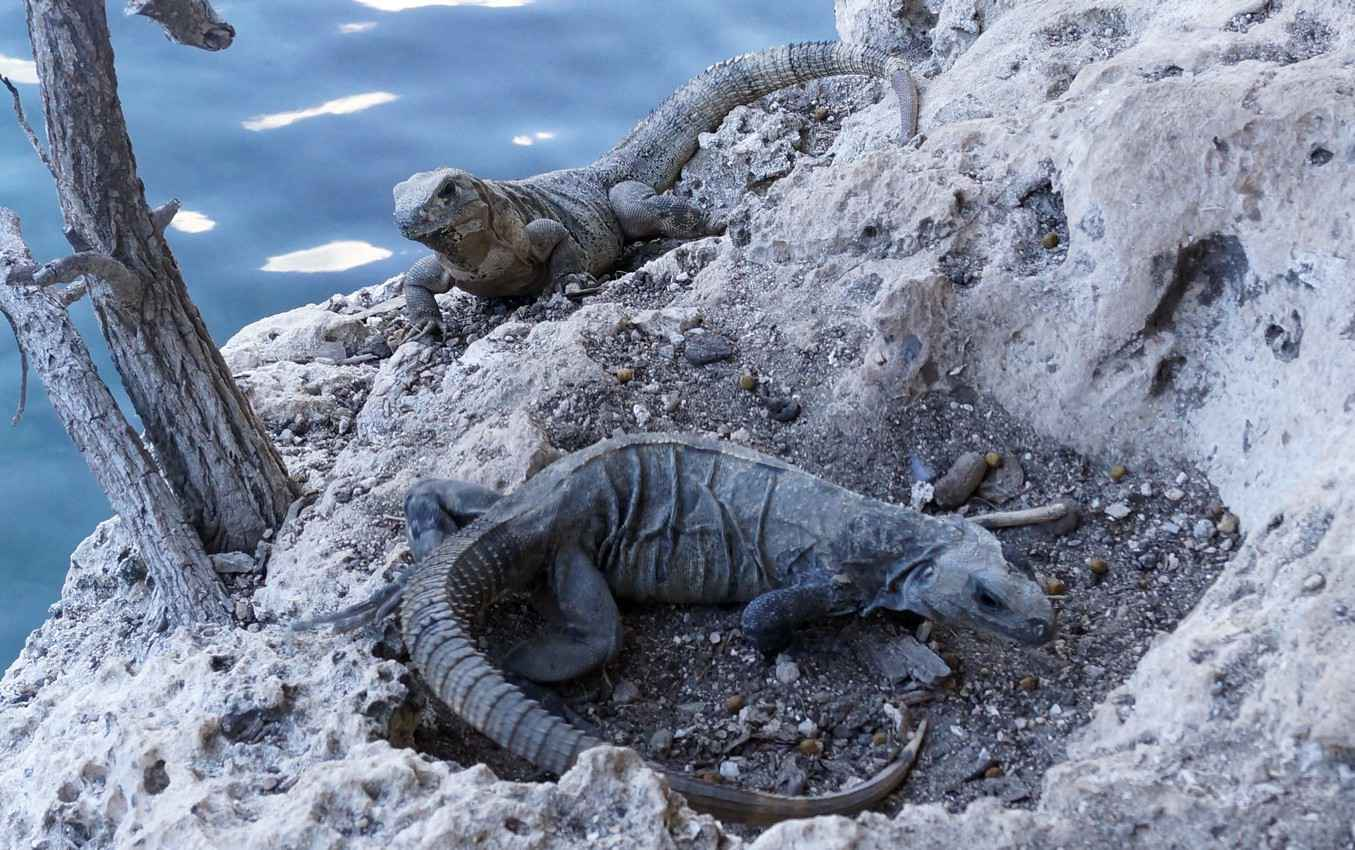 Two iguanas sunbathing near the bank of a cenote.