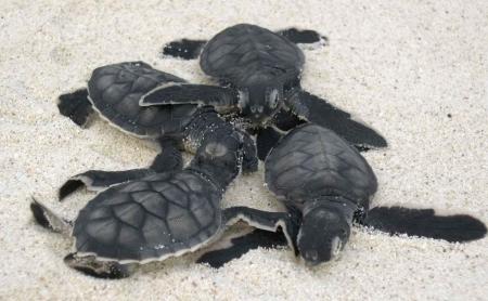Several cute baby sea turtles on the beach near Akumal.