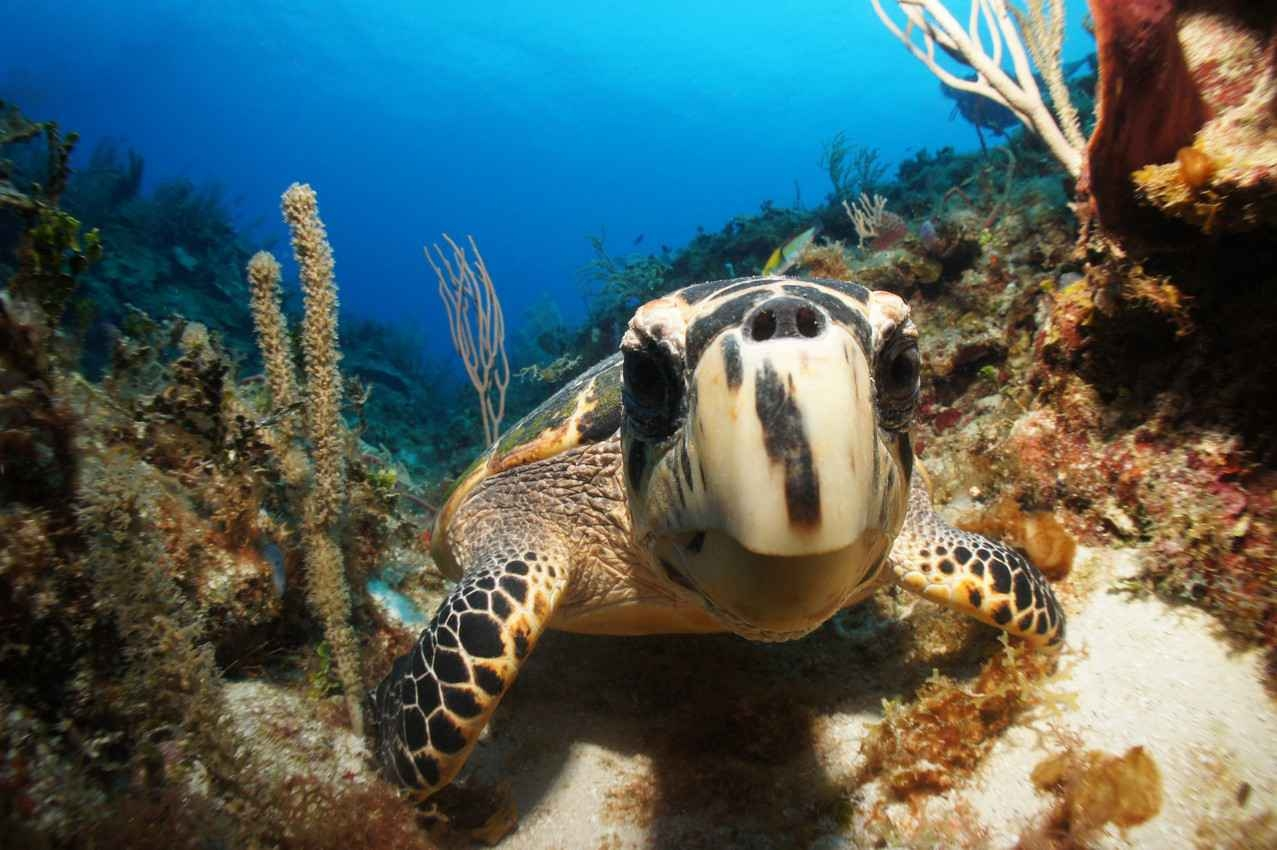 A cute sea turtle investigating the underwater camera near Akumal.