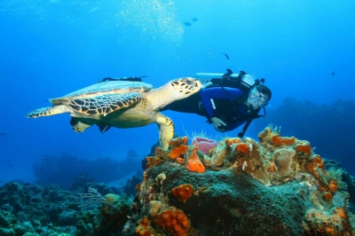A scuba diver swimming near a sea turtle.