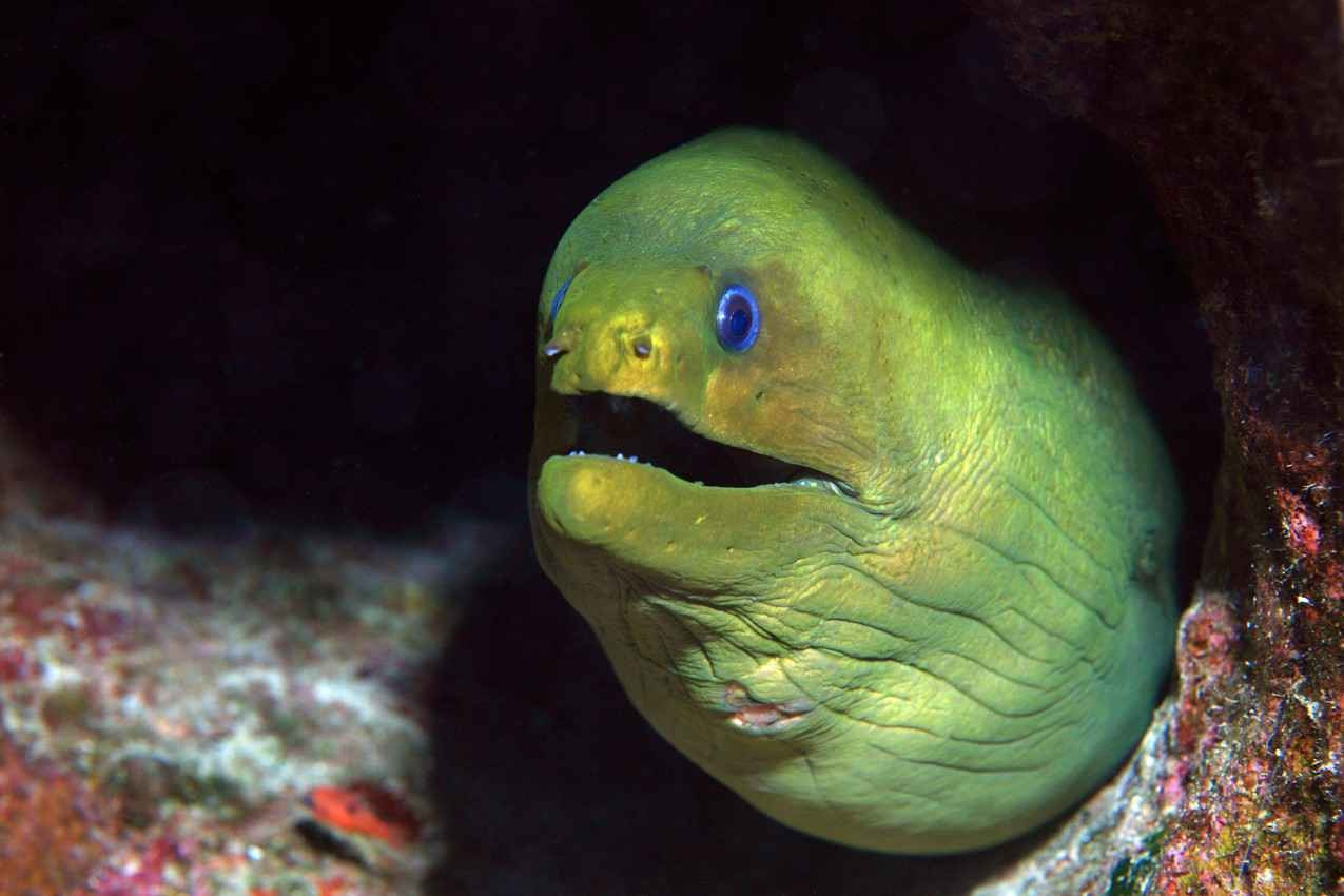 A green and yellow eel hiding in the reef.
