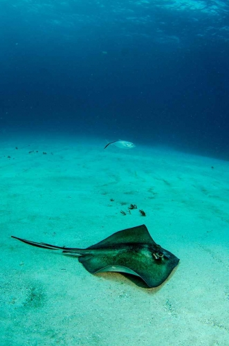 A ray visible in shallow water near the reef.