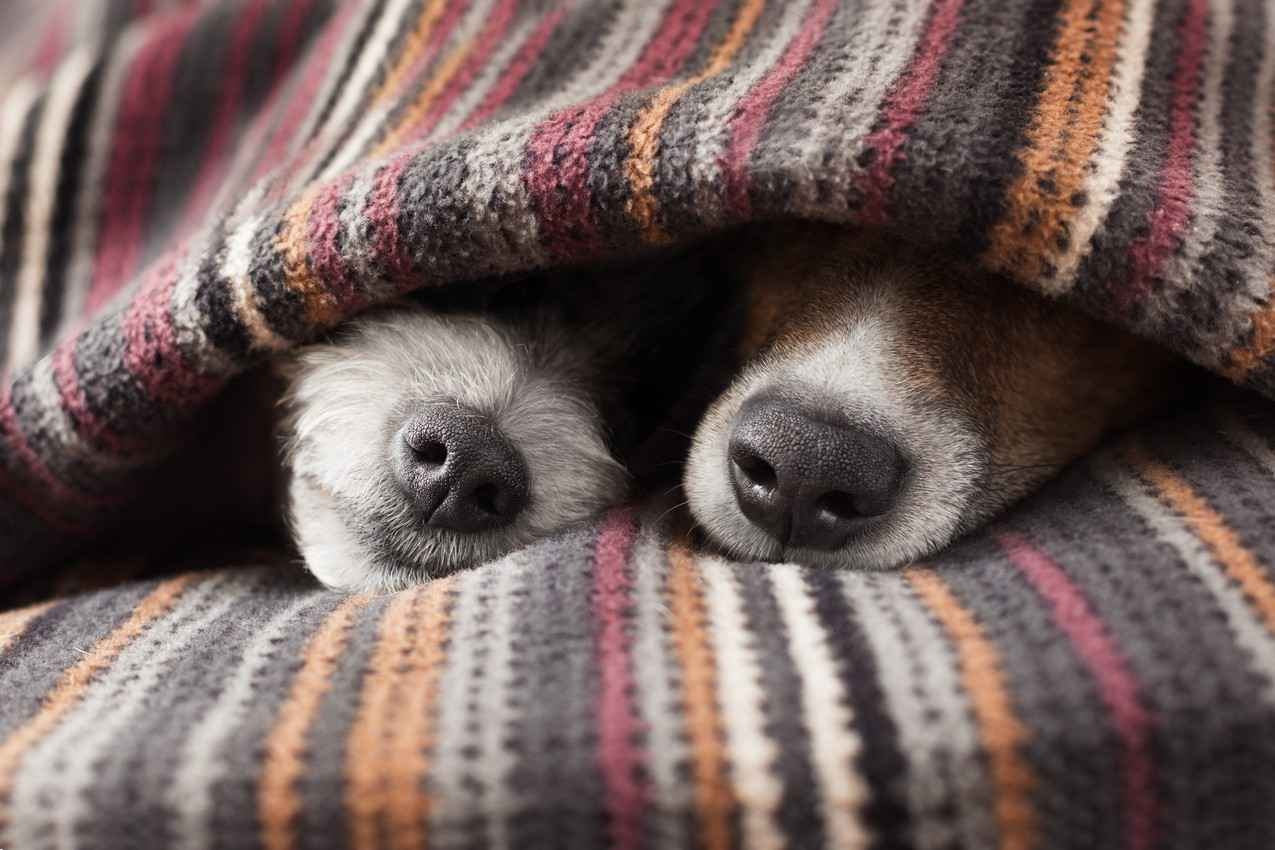 A cute picture of a male and female dog cuddling under several blankets.