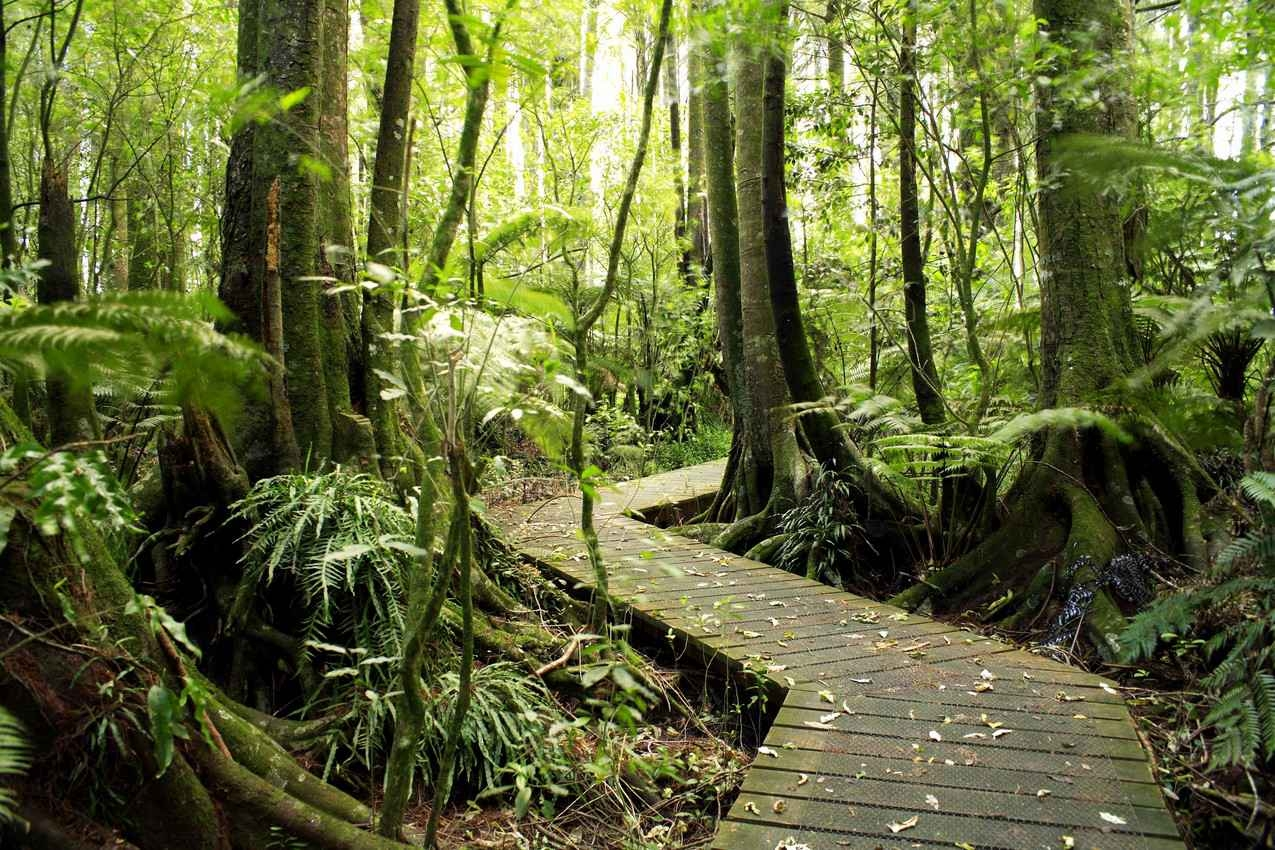 A wooden path through the jungle.