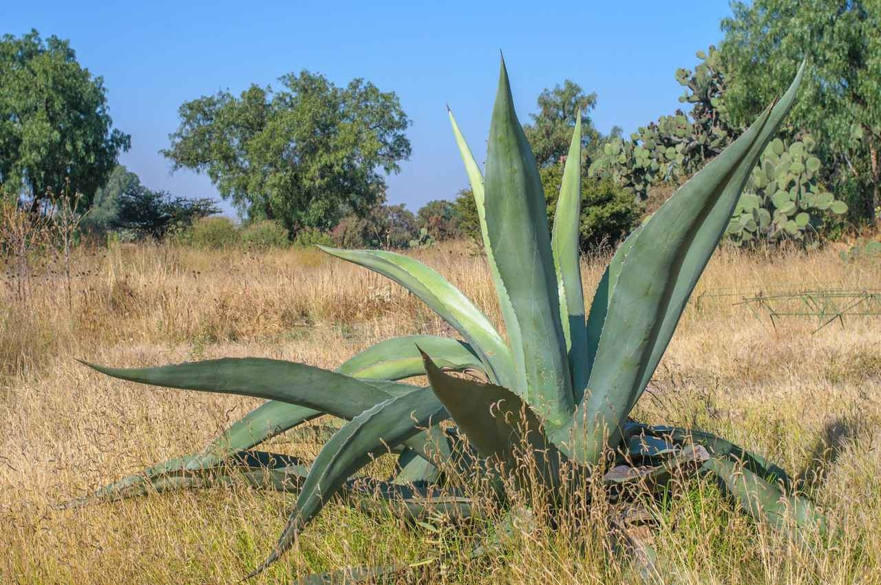 A blue agave plant growing in a Mexican desert.