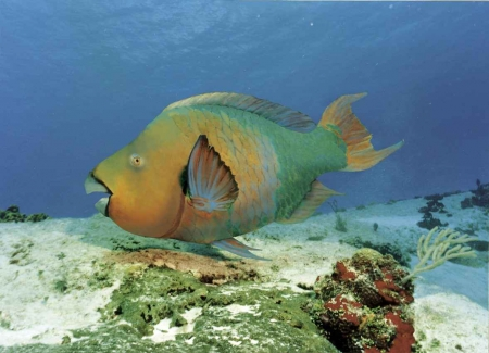 An ugly fish in the Caribbean.