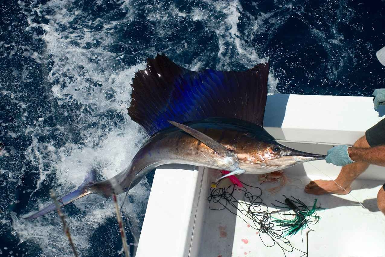 A large sailfish that is being pulled out of the ocean during a Playa Del Carmen fishing trip.