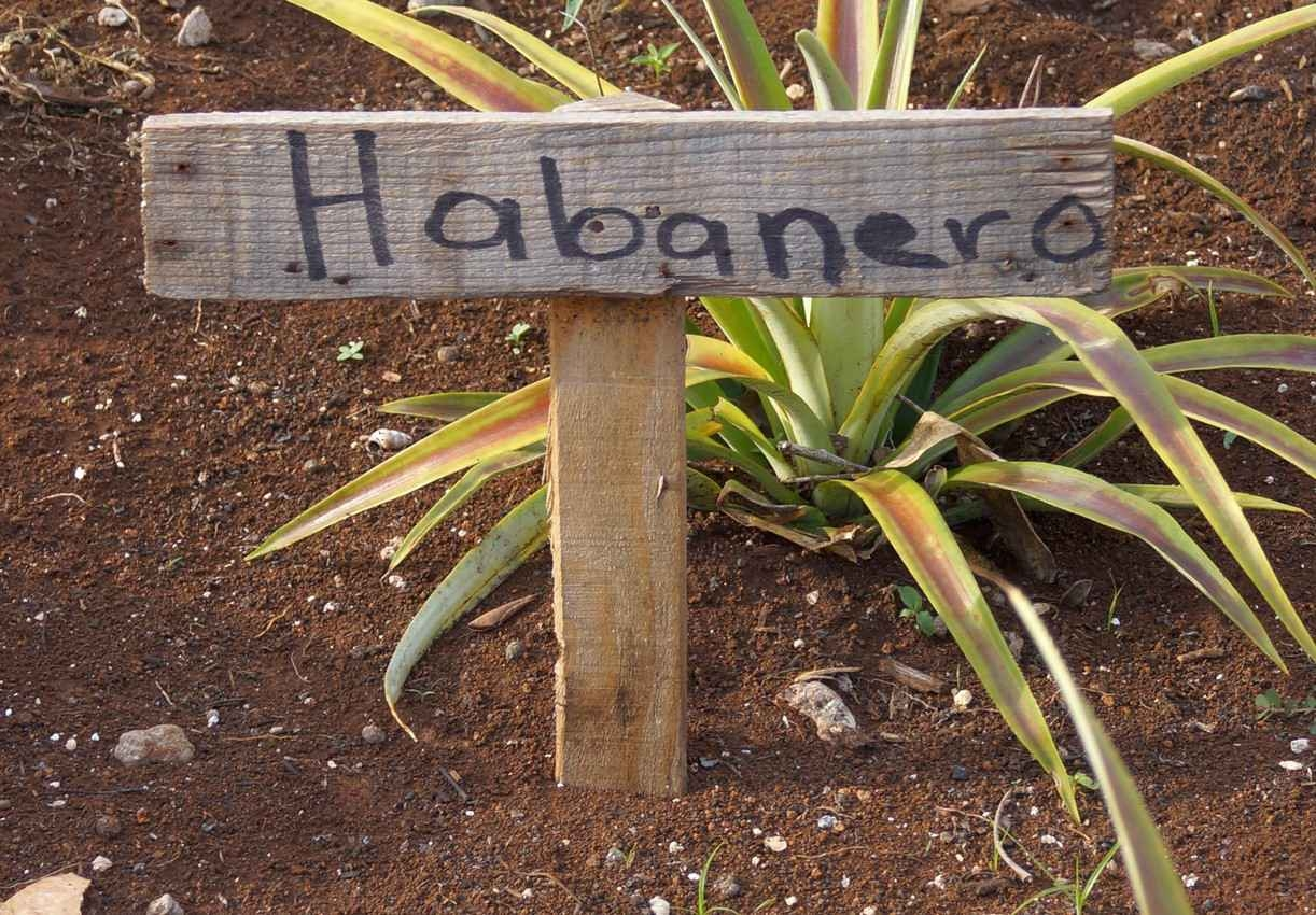 Habenero peppers growing in a garden.