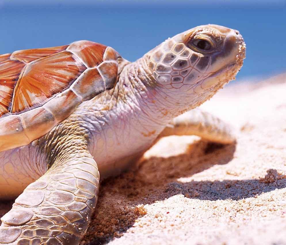 A sea turtle on the beach near Akumal Mexico.