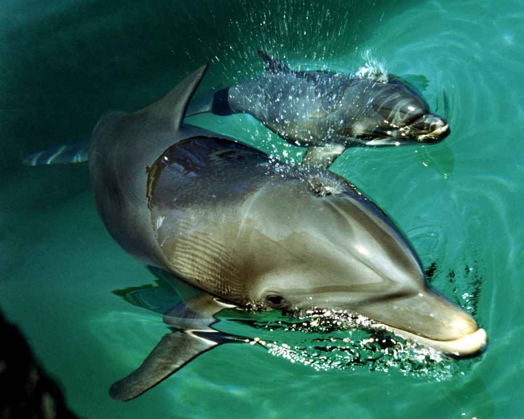 A mother dolphin blowing water into the air while swimming with a baby dolphin.