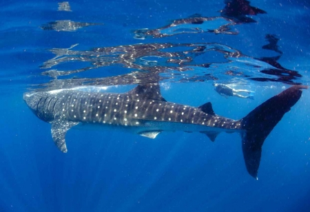 A snorkeler swimming next to a whale shark in the Caribbean Sea near Playa Del Carmen.