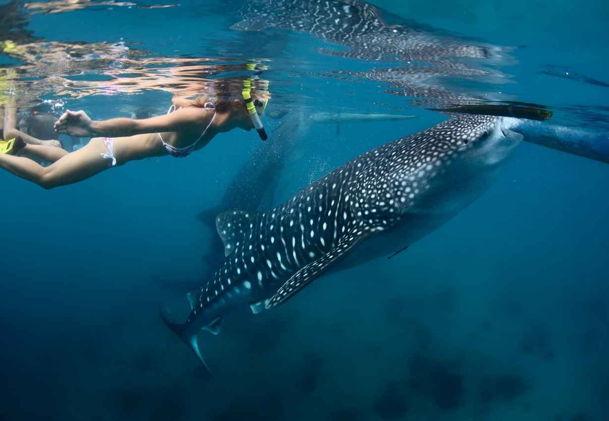 A hot woman in a skimpy bikini swimming next to a whale shark near the Cozumel coastline.
