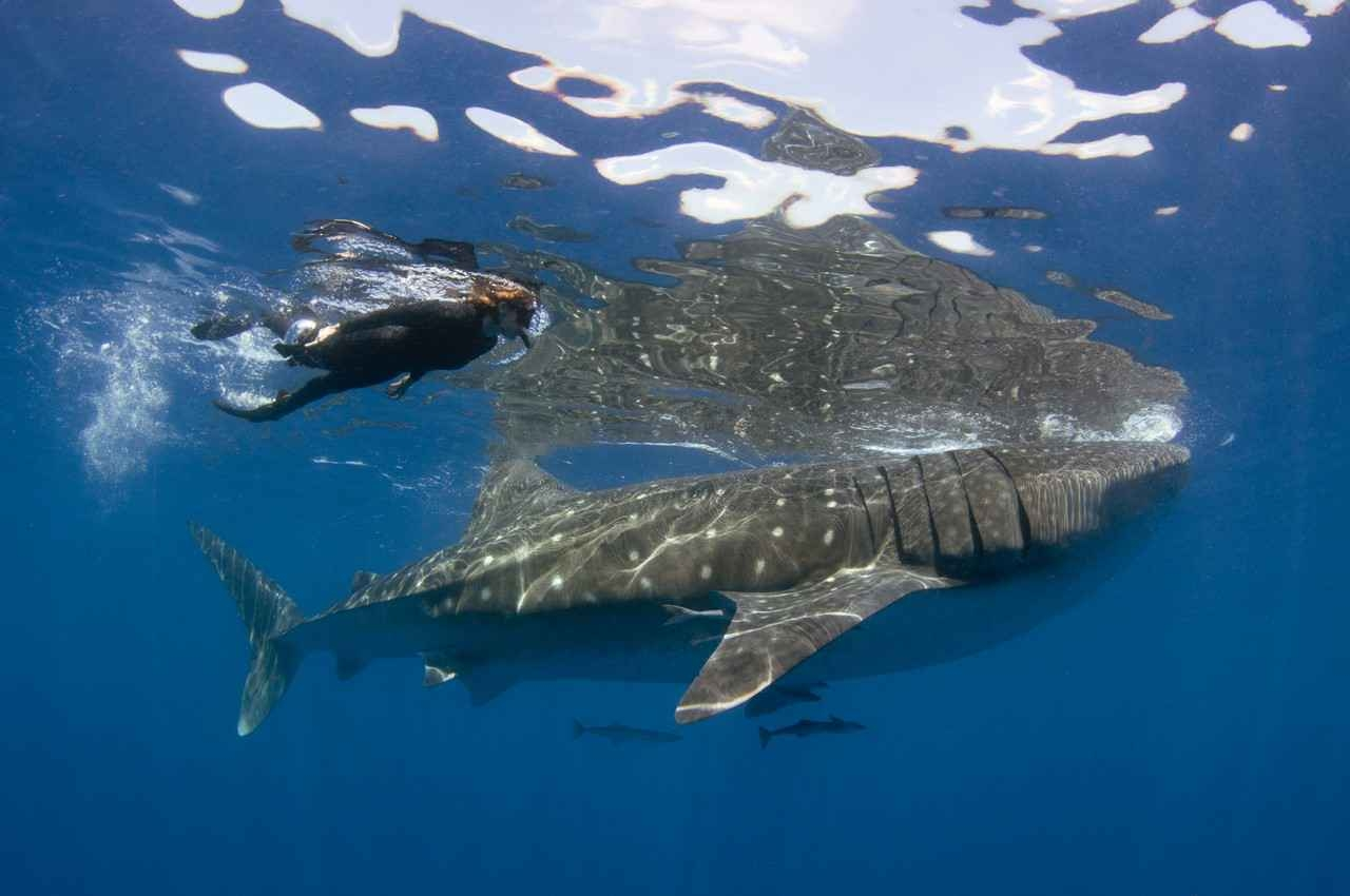 A snorkeler swimming next to a whale shark that has several remora fish underneath it.
