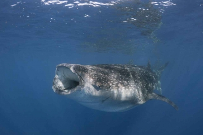 A whale shark with its mouth open sucking in seawater while feeding.