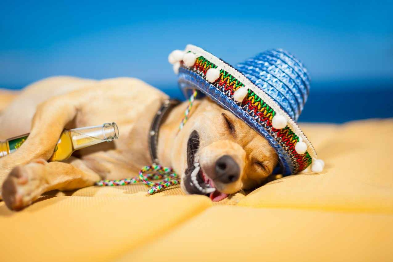 A drunk Mexican dog wearing a sombrero and holding a beer between his legs.
